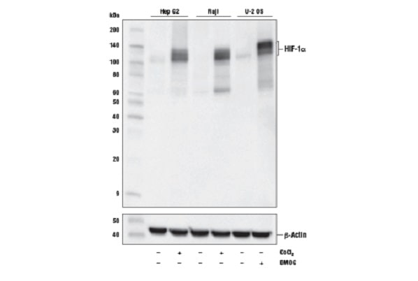 HIF-1a WB data
